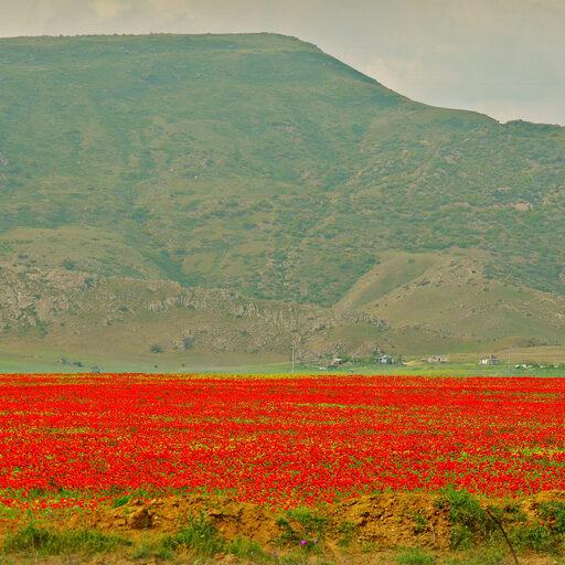 Маковые поля Дагестана